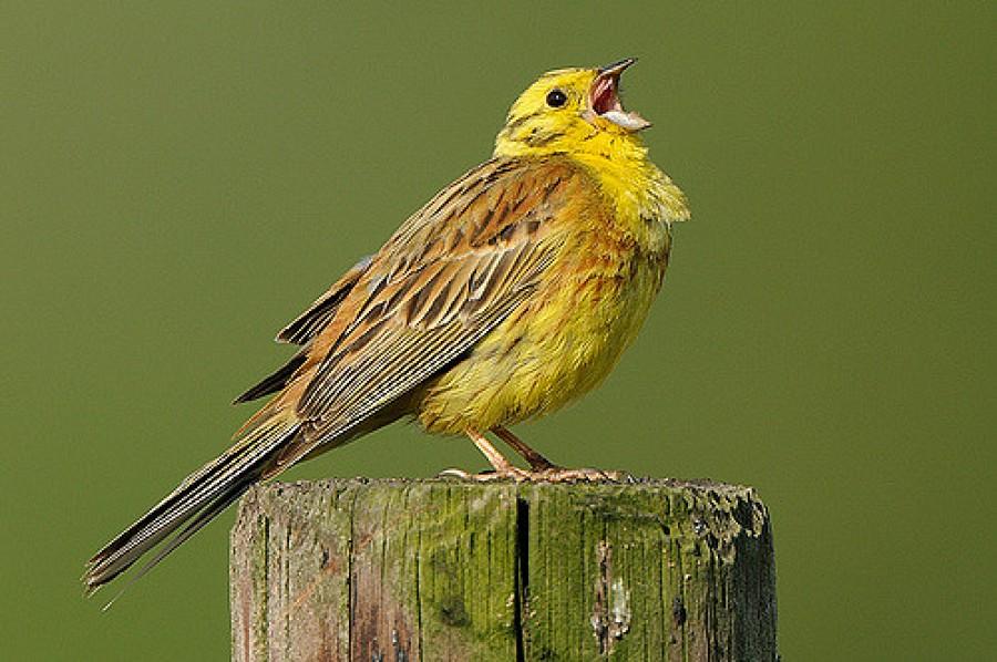 Negyven élő védett madarat találtak a pénzügyőrök Nagylaknál