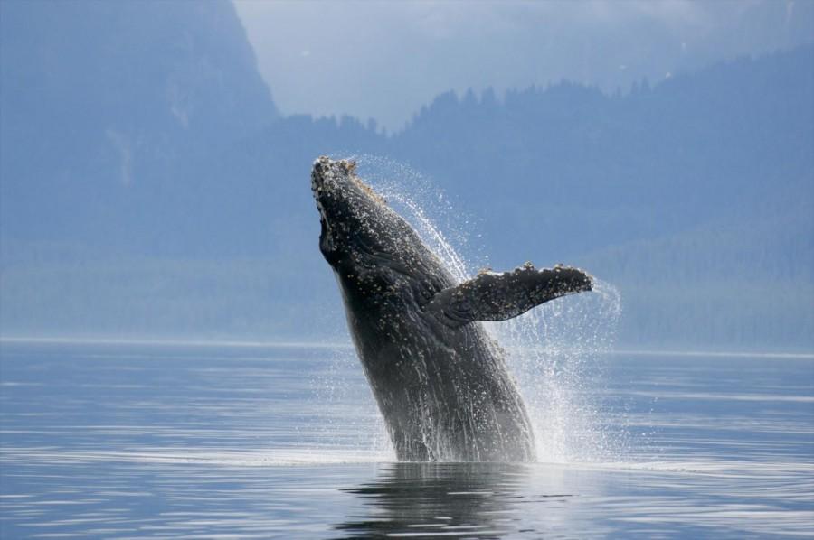 A kék bálnák emlékeznek a tápláléklelőhelyükre! Mi lesz velük, ha az éghajlatváltozás miatt ezek eltünnek?