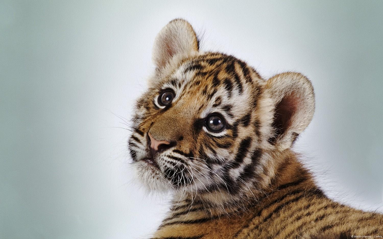 Borzalom: Lefagyasztott tigriskölykök tetemeit foglalták le Vietnámban
