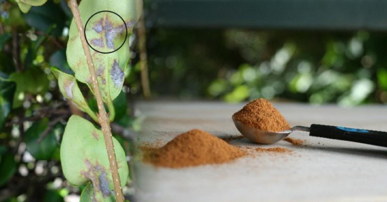 ZÖLD TIPP: Szórj fahéjat a szobanövényeid földjére