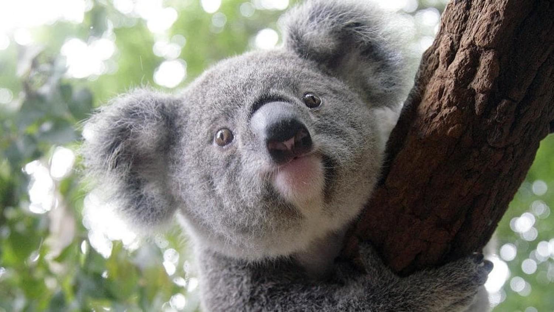 Funkcionálisan kihaltnak tekinthetők a koala macik