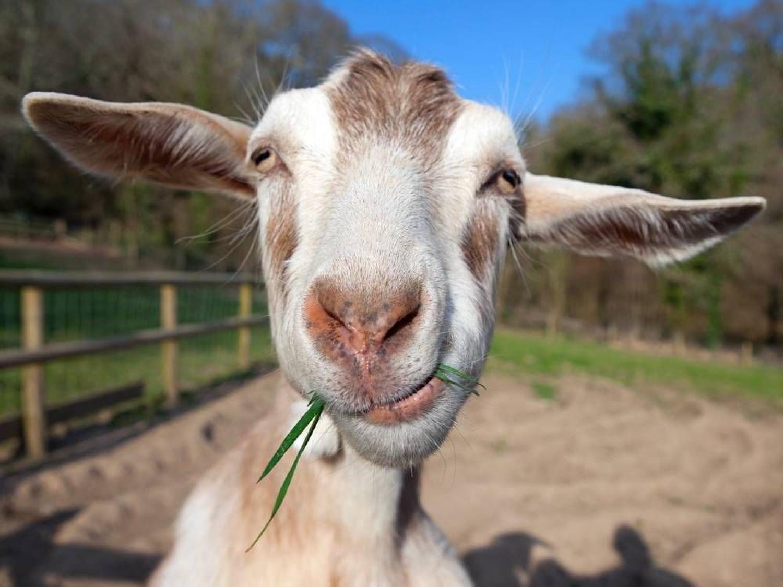 Évszázadok óta gyógyít a kecsketej