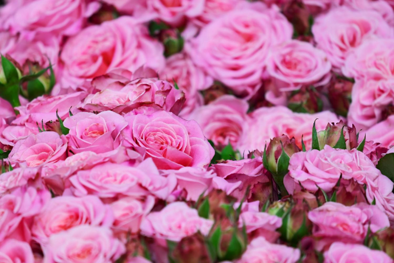 Csak úgy ontják majd a virágokat a rózsáid! Mérgek helyett természetes permetezőszer házilag.