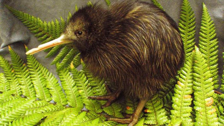 Ötvenmillió év is kevés lenne, hogy az új-zélandi madárvilág az kiheverje az ember pusztítását