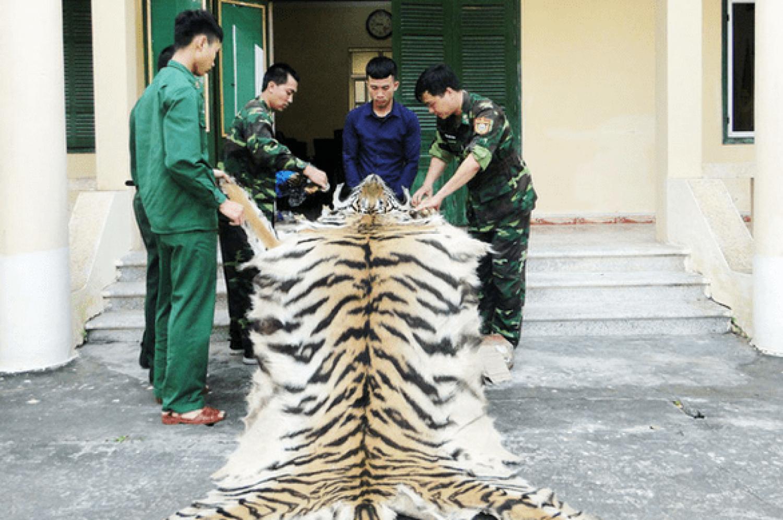 Felkavaró képek! Több mint 2300 tigris esett orvvadászok és orgazdák áldozatául az ezredforduló óta
