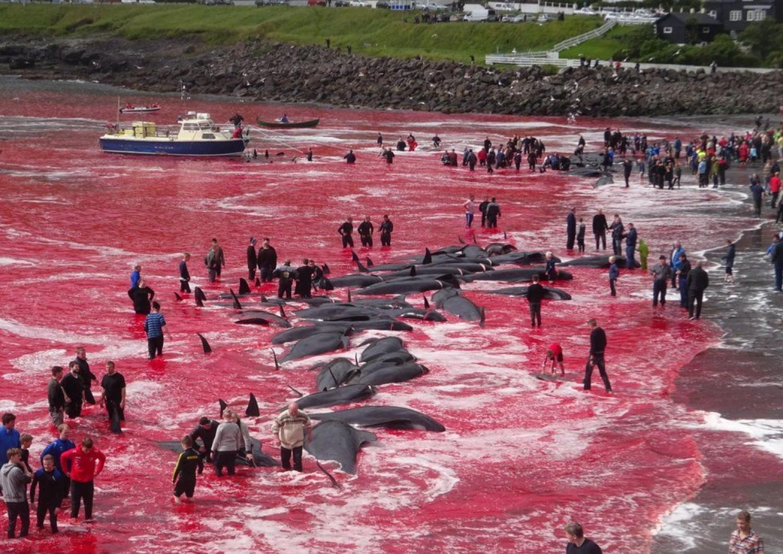 Megkezdődött az éves delfinöldöklés Taidzsiban