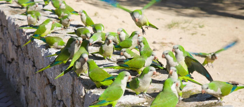 Madrid leszámolna a közparkokban élő papagájkolóniákkal!