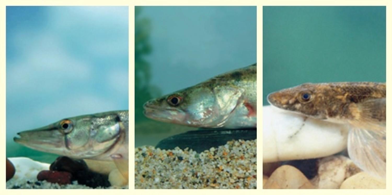 A csuka, a süllő és a német bucó versenyez az év hala címért