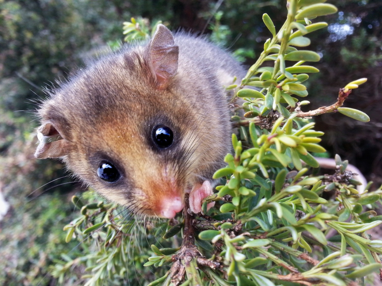Kihalás fenyegeti az erszényes peléket! Különös megoldással álltak elő a tudósok.