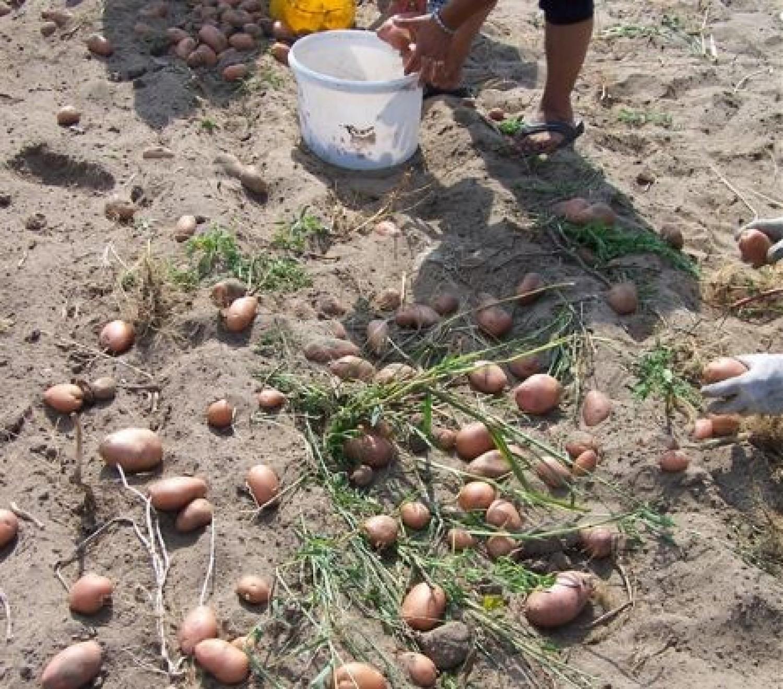 Hihetetlen, milyen technikával szedik a krumplit! Ha van kiskerted tetszeni fog!
