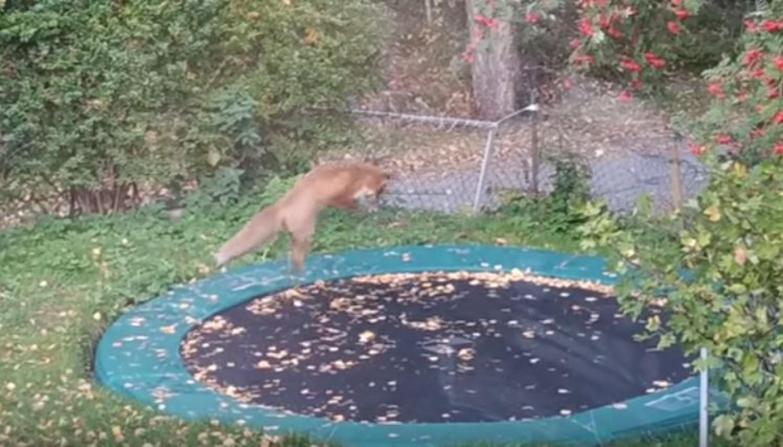 Még hogy vadállat! Így ugrándozik a kerti trambulinon egy róka