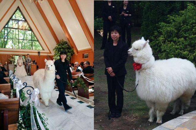 Alpaka az esküvőn