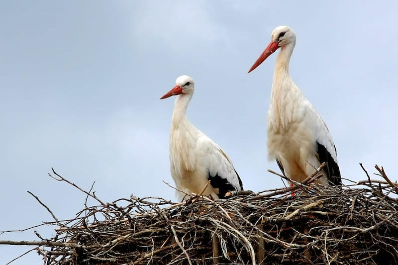 Emelőkkel teszik biztonságosabbá a gólyafészkeket