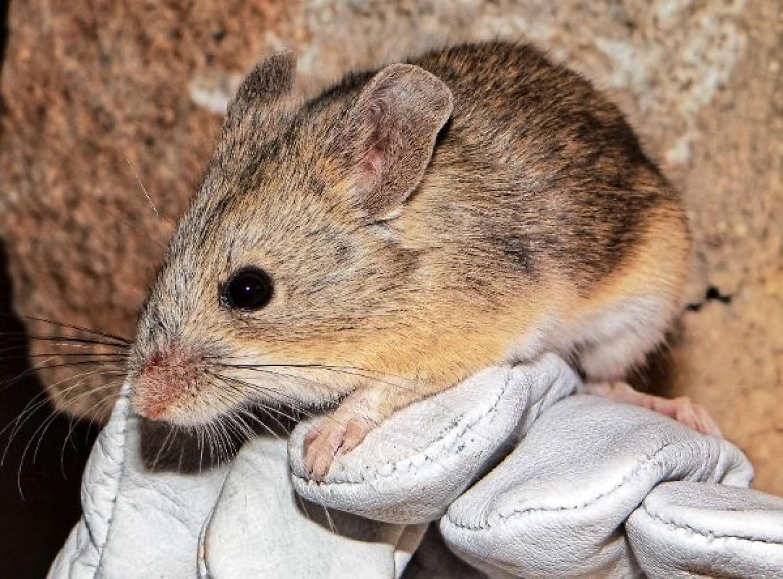 A tengerszint felett legmagasabban élő emlősre bukkantak biológusok