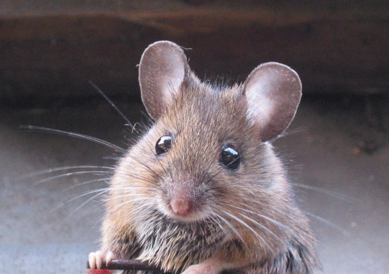 Döbbenetet! Az egerek arcán is látszanak az érzelmek!