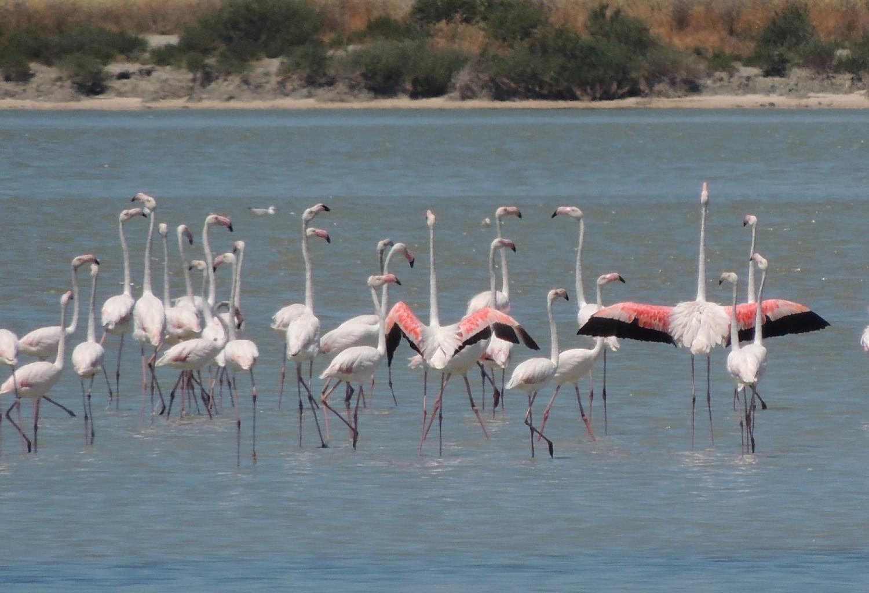 Harmadával nőtt a flamingók száma Albániában