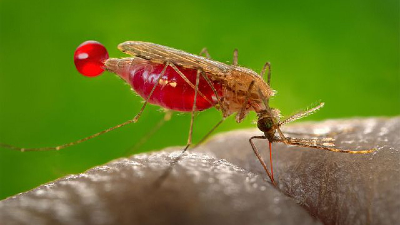 A malária ellen teljes védelmet nyújtó mikrobát fedeztek fel