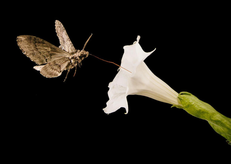 Nem csak a méhek, a molylepkék is kiemelt szerepet játszanak a beporzásban!