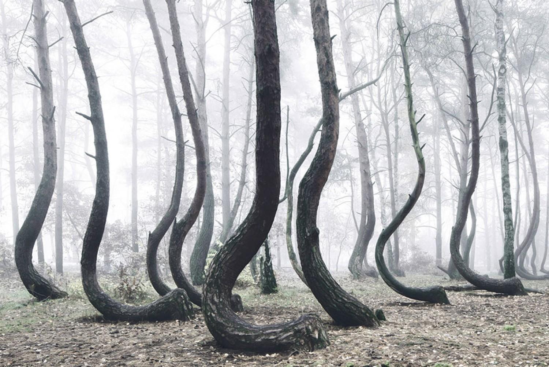 A természet misztikumai: egy görbe erdő, amire máig nincs magyarázat