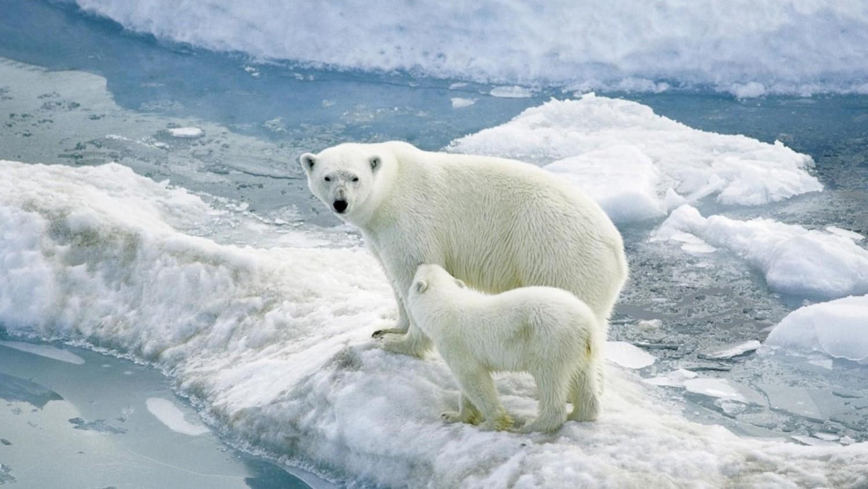 Végveszélyben a jegesmedvék - Lassan éhenhalnak