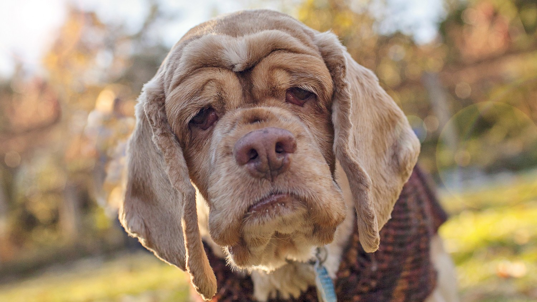 A kutyák személyisége is változik, ahogy öregszenek