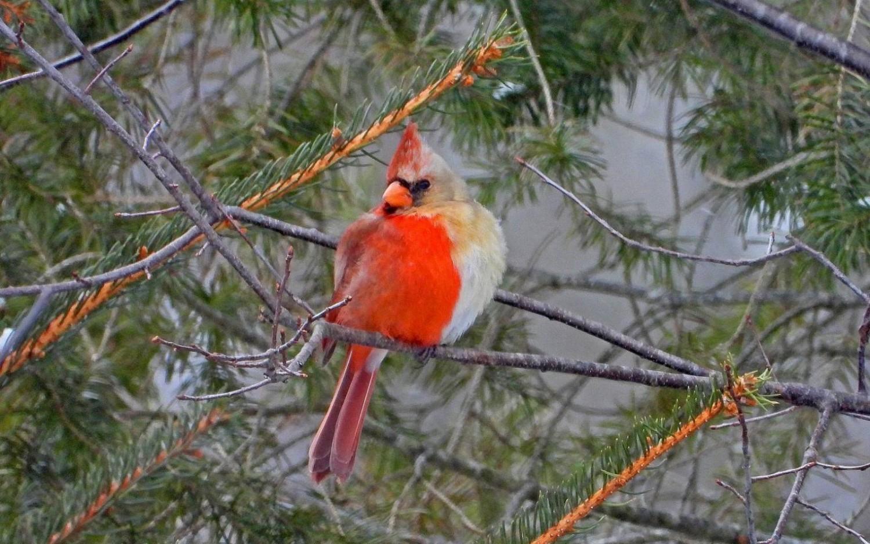 Félig hím, félig nőstény madarat fotóztak