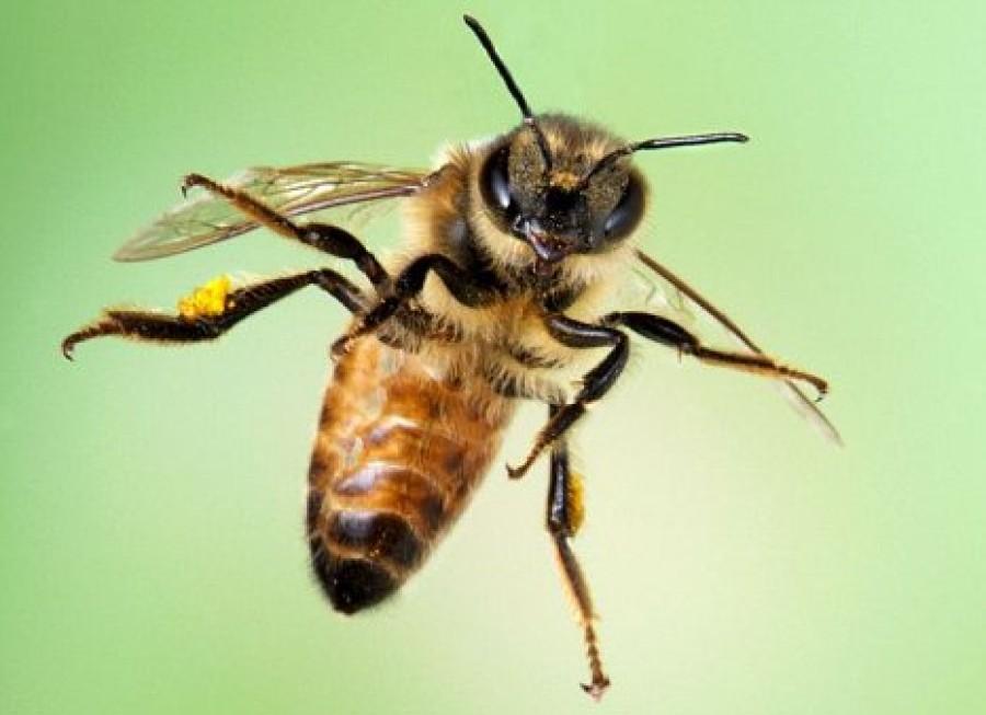 Amikor a méhek háborúba mennek!
