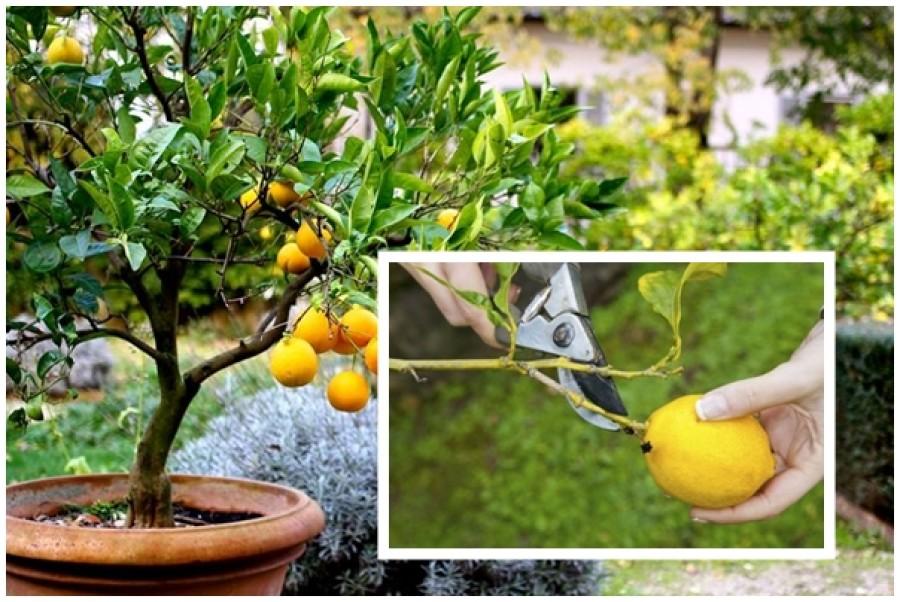 Így gondozd a citromfádat, hogy bőségesen teremjen!