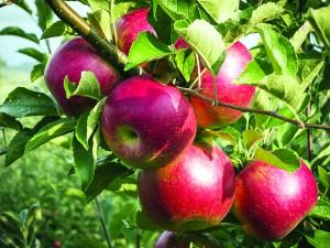 apple-tree-lg-ok