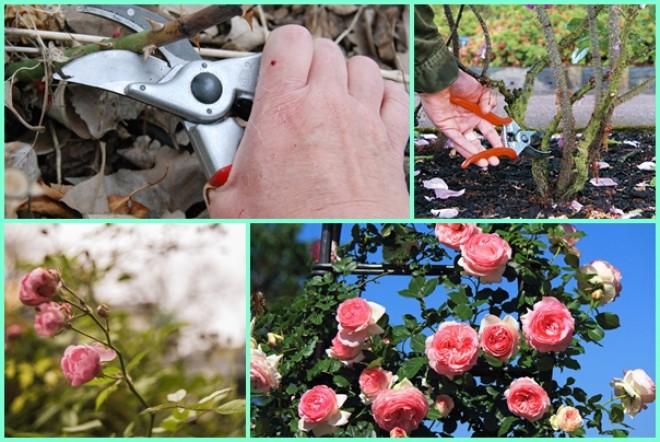 Így metszd a rózsát, hogy egész évben virágozzon!
