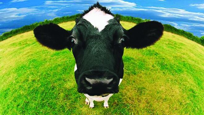 Gondoltad volna? A metángáz kibocsátás majdem felét a tehenek okozzák!