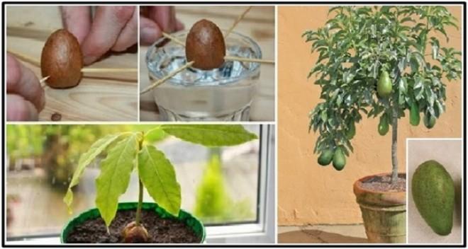 Az avokádó csíráztatás titka - két bevált módszer!