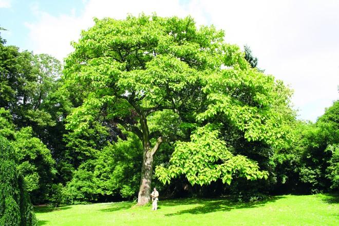 A szegedi fák mentője