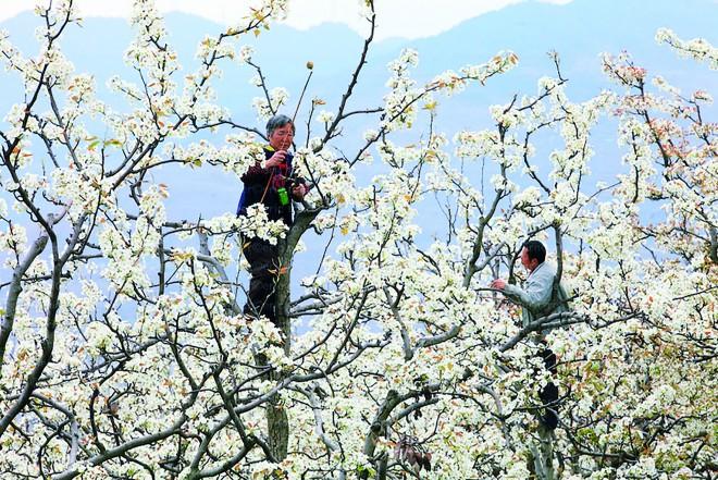Emberek porozzák be a gyümölcsfák virágait, mert nincs elég méh!