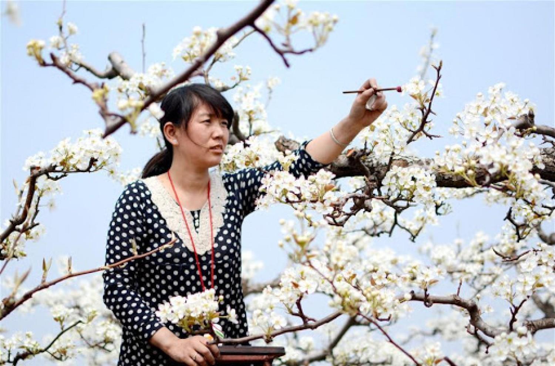 Annyira kevés a méh, hogy emberek porozzák be a gyümölcsfák virágait!