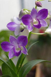 Dendrobium phalaenopsis hibrid Dr. Zalatnai Márta felvétele