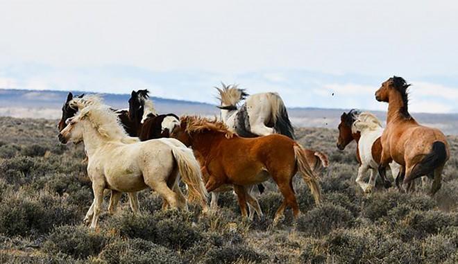 Ötezer lovat akarnak lelőni az ausztrálok!