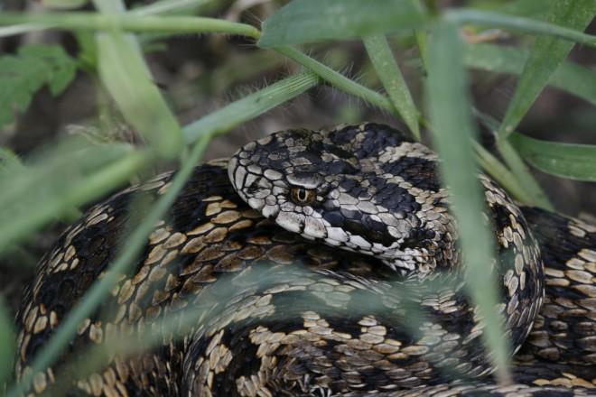 Hungarikum kígyócskánk