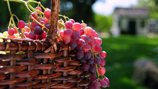 A szőlő sokkal több mint gyümölcs!