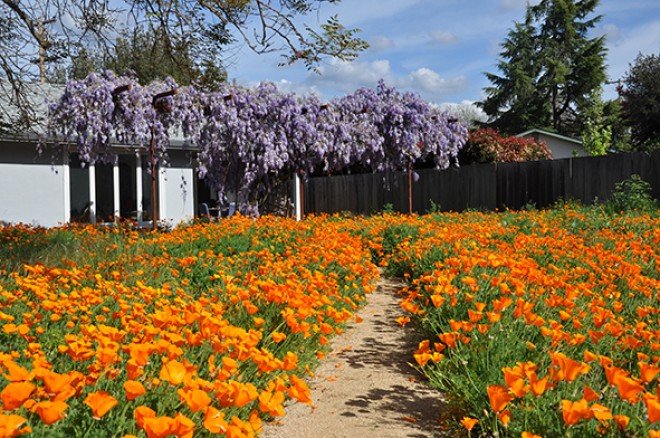 Szeretnél ilyen narancssárga virágtengert, ami évről évre megújul? Ültess kakukkmákot!