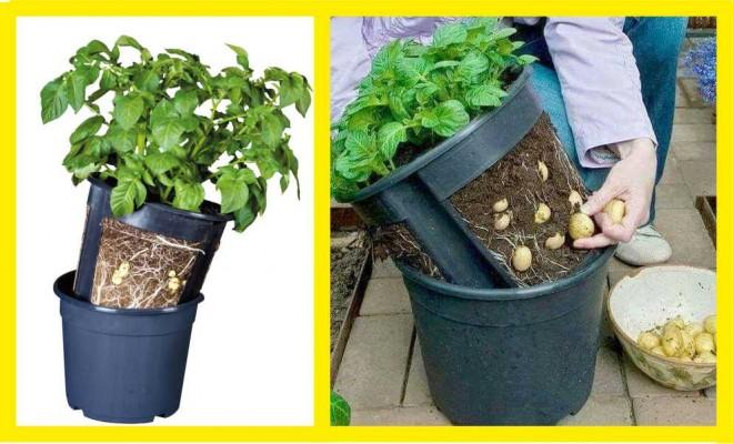Így nevelj krumplit az erkélyen! Nem kell hozzá kiskert, hogy saját burgonyád legyen!