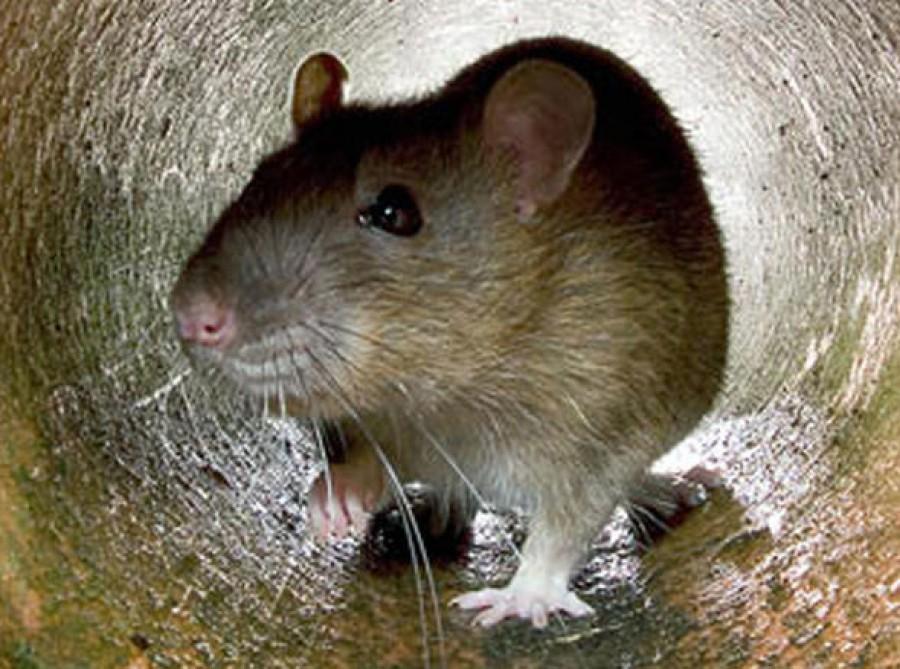 Rettegett túlélőbajnokok! A patkányok hihetetlen képességei!