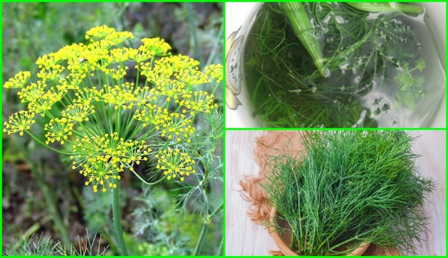 Ez a növény hatékonyabb a fokhagymánál! Csökkenti a vércukorszintet és a magas vérnyomást is!