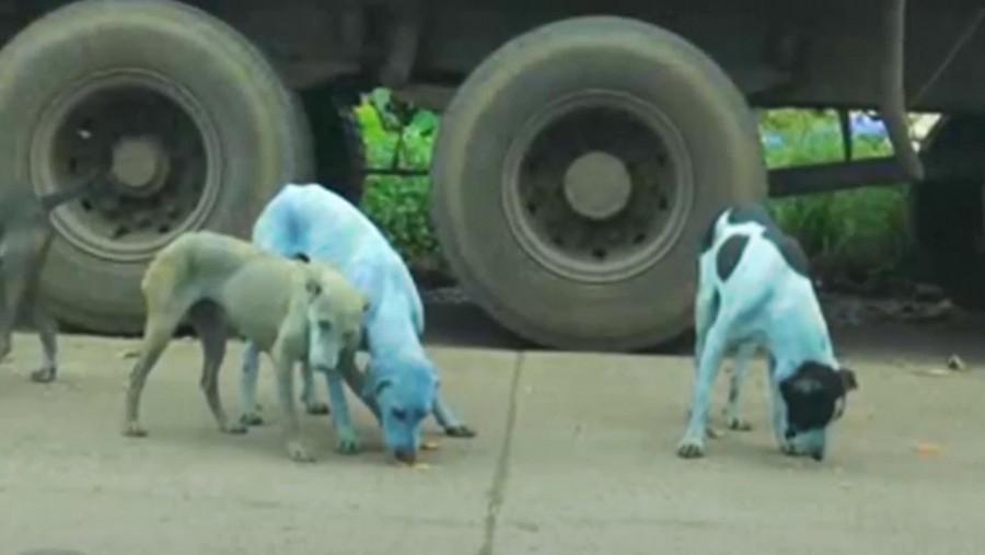 Kék színűre festette a kutyák szőrét a gyár környezetszennyezése!