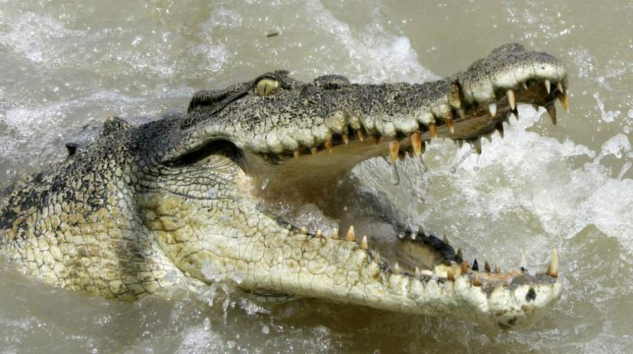 Krokodiltámadásban vesztette életét  fiatal újságíró