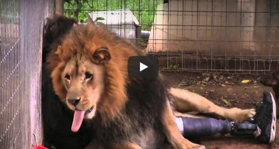 A mozgássérült férfi egyszerűen besétál az oroszlán ketrecébe