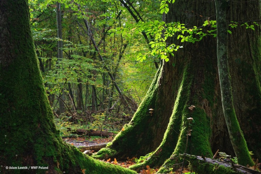 Megmenekült a láncfűrészektől Európa leghíresebb őserdeje!