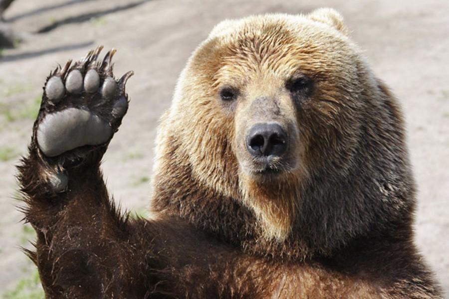 Szabadon engedték a médiasztárrá vált medvét!
