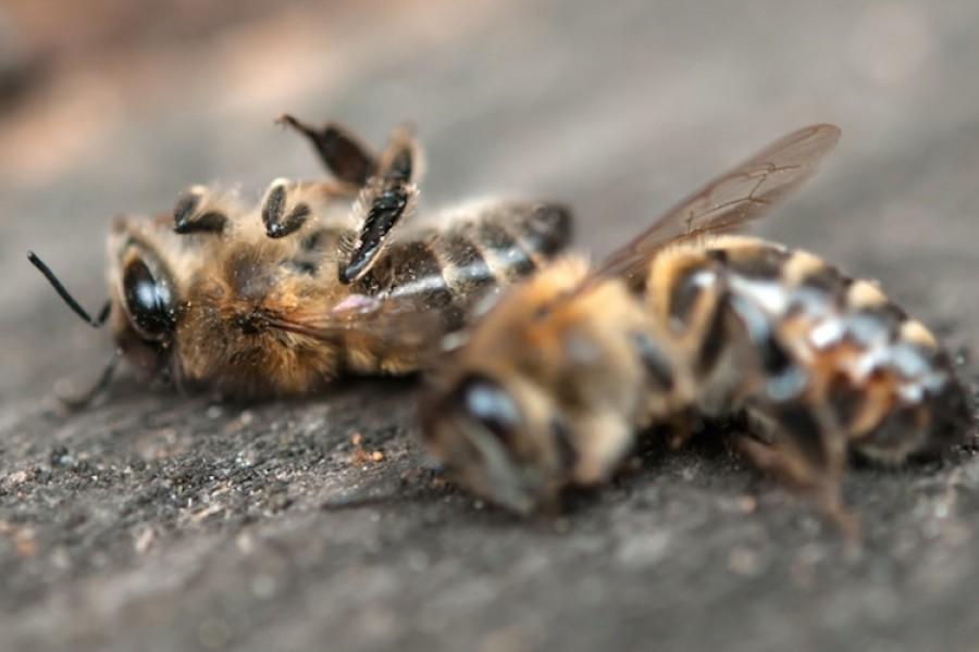 Tömeges ismeretlen eredetű méhpusztulás