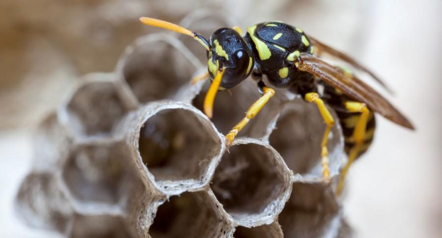 Ne utáljuk a darazsakat! Ugyanolyan hasznosak, mint a méhek!